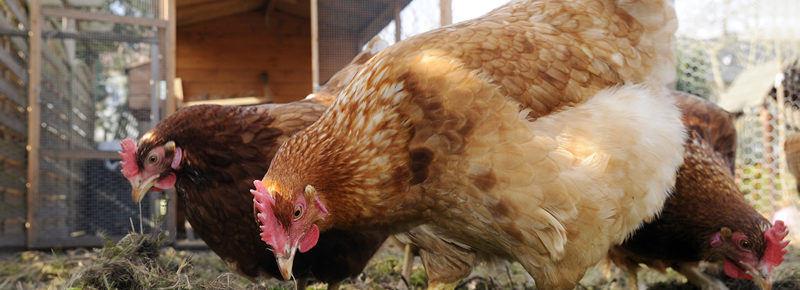 ik wil kippen houden